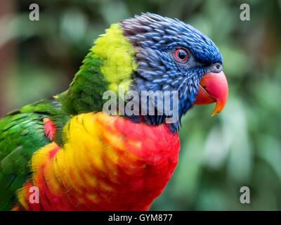 Rainbow lorikeet at Colchester Zoo - Stock Image