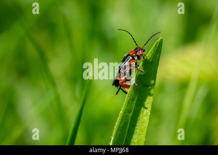 Soldier beetle (Cantharis) resting on the tip on a blade of grass, Essex - Stock Image