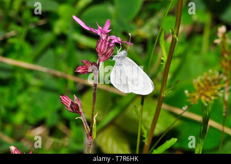 A rare Wood White butterfly,Leptidea sinapis, on a ragged robin flower (Lychnis flos-cuculi) in the Devon Wildlife Trust reserve at Meeth in Devon.Eng - Stock Image