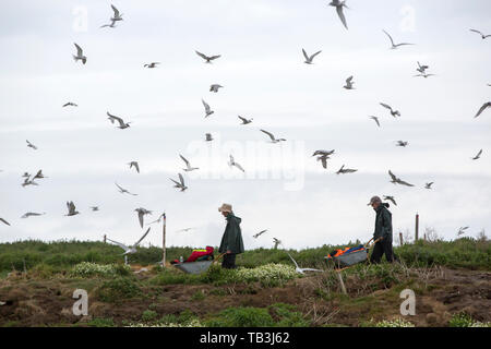 Coquet Island off Amble on the Northumberland coast, is an RSPB bird reserve and home to around 95% of all the breeding Roseate Terns in the British I - Stock Image