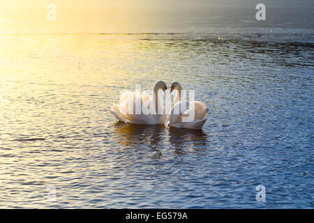 A picture of two swans forming a heart during sundown - Stock Image