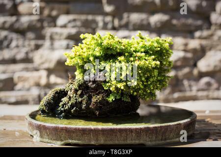Picea Abies - little gem - bonsai, at Portland Japanese Garden in Portland, Oregon, USA. - Stock Image