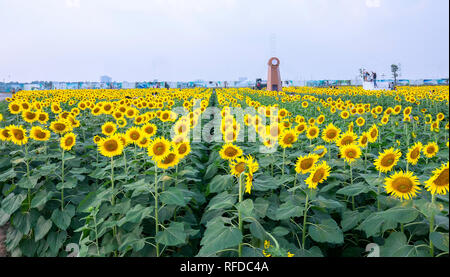 Sunflower fields and windmill decoration of gardening harmoniously harmonize beautiful and peaceful landscapes - Stock Image