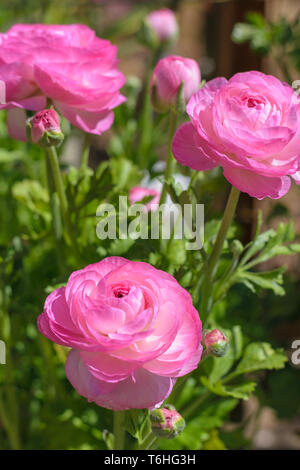 Ranunculus asiaticus Tecolote Pink (Persian buttercup) - Stock Image