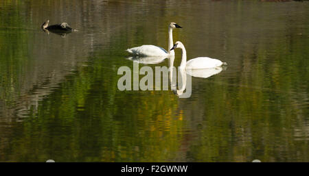 A calm lake supports two Trumpeter Swans during the fall in Alaska - Stock Image