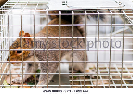 Grey Squirrel UK caught in a cage trap, with slight motion blur. Sciurus carolinensis in a humane live catch trap. - Stock Image