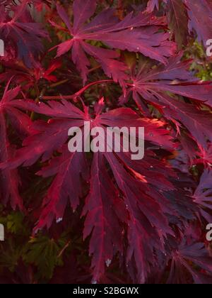 The glorious autumn colours of Acer Aconitifolium. - Stock Image