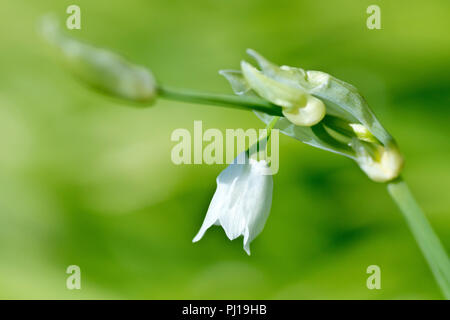 Few-flowered Leek (allium paradoxum), close up of a flowering stem with low depth of field. - Stock Image