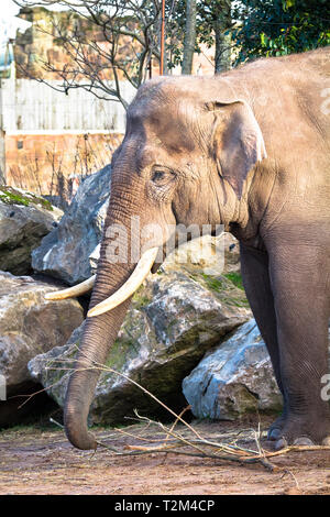 An adult asian elephant (Elephas maximus) standing in the sunshine. - Stock Image