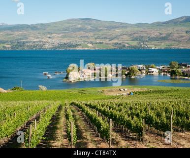 Vines growing by the Okanagan lake in British Columbia Canada - Stock Image