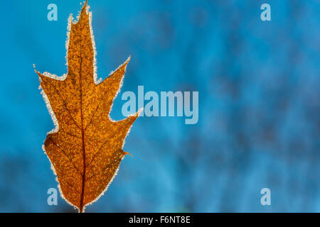 Closeup of frozen oak leaf - Stock Image
