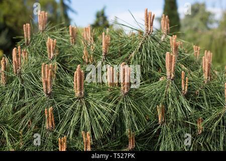 Pinus densiflora x nigra 'Pierrick Bregéon' at the Oregon Garden in Silverton, Oregon, USA. - Stock Image
