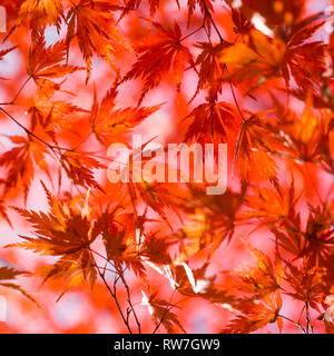 Red Japanese Maple Tree Leaves - Stock Image