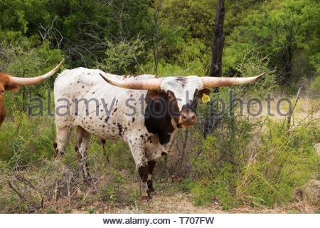 Longhorn Bull in Arizona USA - Stock Image