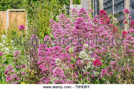 Pink Valerian plant (Valeriana officinalis), a perennial flowering plant growing in Summer (June) in West Sussex, England, UK. - Stock Image