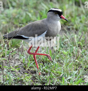 Crowned lapwing (Vanellus coronatus) or crowned plover. Queen Elizabeth National Park, Uganda. - Stock Image