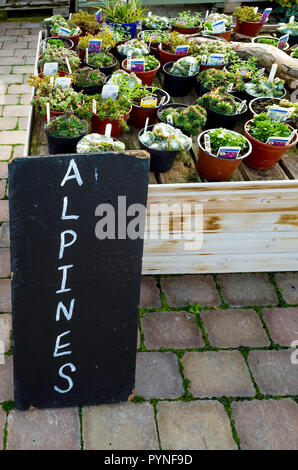 Alpine plants for sale in a garden centre in autumn - Stock Image