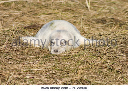 Grey seal pup flopped and fast asleep in the grass. - Stock Image