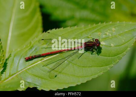 Pyrrhosoma nymphula, male Large Red Damselfly at rest, Wales, UK. - Stock Image