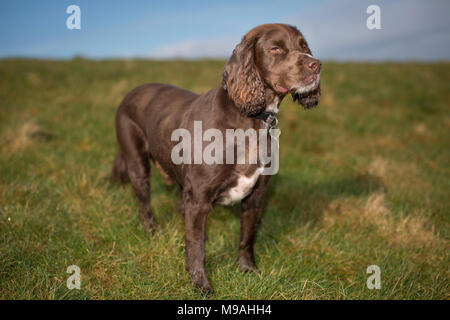 A dog portrait of a pedigree chocolate brown working cocker spaniel standing in a green field with blue sky. - Stock Image