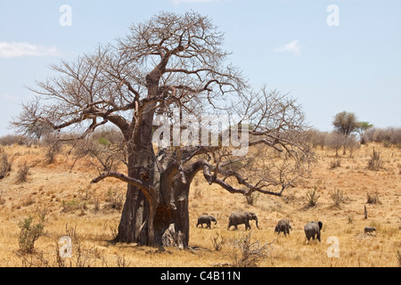 Tanzania, Tarangire. A herd of elephants walks past a massive baobab. Both are what makes Tarangire famous. - Stock Image