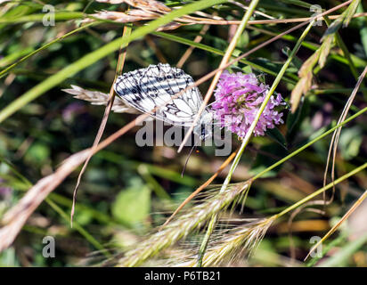 The beautiful Marbled White butterfly (Melanargia galathea) sipping nectar from clover in the Cuckmere Valley, East Sussex, England - Stock Image