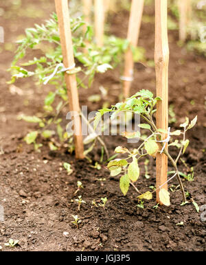 Tomato plants damaged by strong wind with brown windscorched leaves - Stock Image