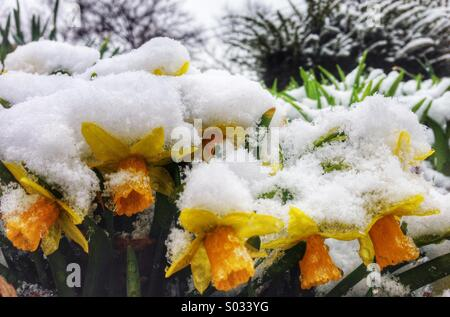 Snow covered flowers in April in Ohio - Stock Image