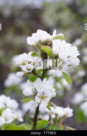 Pyrus communis 'Conference'. Pear blossom. - Stock Image