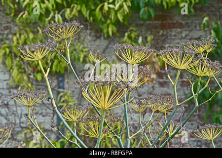 Close up of decorative Fennel plant with flowering heads making an attractive display - Stock Image