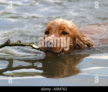 cocker spaniel dog swiming with stick - Stock Image