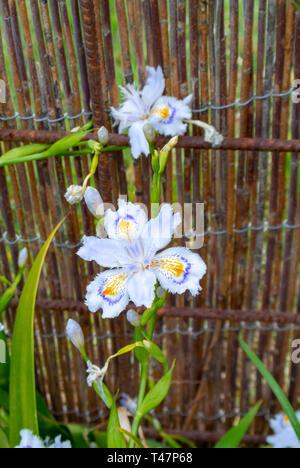 iris japonica, fringed iris,shaga,butterfly flower - Stock Image