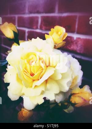 Yellow buds and roses - Stock Image