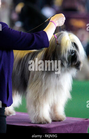 New York, United States. 11th Feb, 2019. Westminster Dog Show - New York City, 11 February, 2019: A Tibetan Terrier, CH Dreammaker Salishan Sullivan's Lunar Tide, during judging for the Best of Breed Competition at the 143rd Annual Westminster Dog Show in New York City. Credit: Adam Stoltman/Alamy Live News - Stock Image