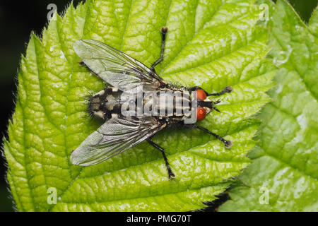 Dorsal view of Flesh Fly (Sarcophaga sp) on bramble leaf. Tipperary, Ireland - Stock Image