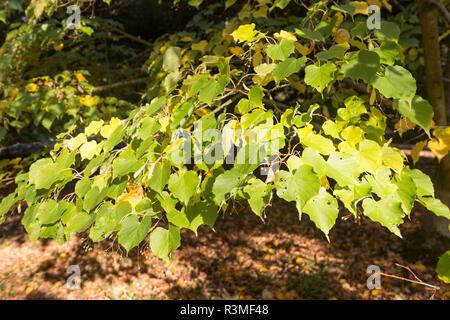 National arboretum, Westonbirt arboretum, Gloucestershire, England, UK leaves of Tilia Japonica lime tree - Stock Image