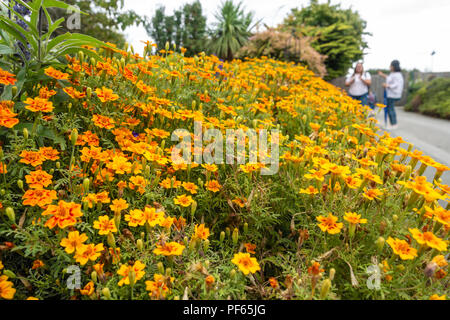 A close up view of a flower border full of French Marigold flowers. - Stock Image