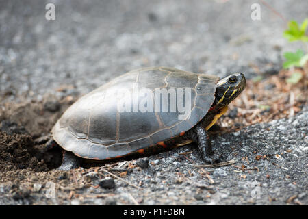A painted turtle,  Chrysemys picta, digging a hole in the dirt in a crack of an old highway to lay her eggs in the Adirondack Mountains, NY USA - Stock Image