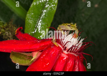 Reticulated Glass Frog, Arenal Volcano, Costa Rica, Central America. Controlled situation (Hyalinobatrachium valerioi) - Stock Image