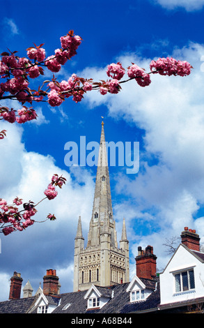 Norwich Cathedral spire in spring with cherry blossom - Stock Image