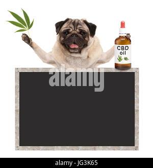 smiling pug puppy dog, holding bottle of CBD oil and hemp leaf, with blank blackboard sign, isolated on white background - Stock Image