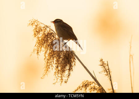 Eurasian reed warbler Acrocephalus scirpaceus bird singing in reeds during sunrise. Early sunny morning in Summer - Stock Image