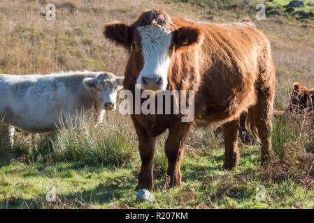 Luing cattle grazing next to Glen Finglas Reservoir  part of Glen Finglas Woodland Trust Researve. The Trossacks, Scotland. - Stock Image