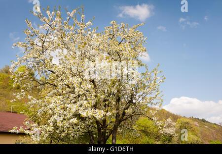 Prunus plum tree flowering in spring, beautiful calming rural scenery, blooming plant in April spring season, Poland. - Stock Image