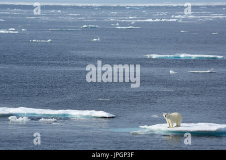 A male Polar Bear (Ursus maritimus) on the ice floe of Baffin Bay, Arctic Circle - Stock Image