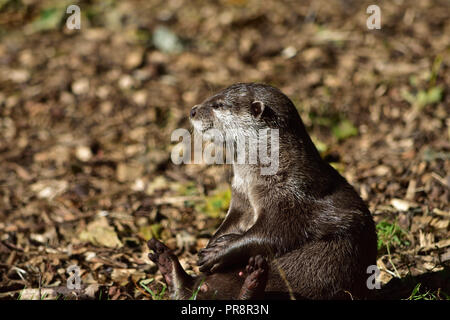 Short Clawed Otter at Play - Stock Image