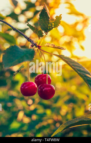 Three berries of sweet cherry on a branch with foliage on a tree - Stock Image