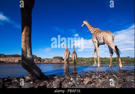 Maasai giraffe (Giraffa camelopardalis tippelskirchi) herd crossing the Mara River, Maasai Mara National Reserve, Kenya. Taken with remote wide angle camera. - Stock Image