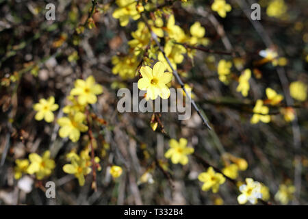 Little yellow flowers growing from a bush in Switzerland. Beautiful bright flowers with a lovely shape. Photographed during a sunny spring day. - Stock Image