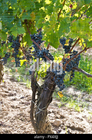 Purple grapes growing on grapevines in a vineyard in the Niagara Peninsula, Ontario Canada. - Stock Image